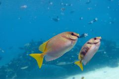 Rabit. Coral Rabittfish / Sinefoot (Siganus Corallinus) pair swimming over coral reef into open water Stock Photos