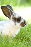 Rabit bunny in the grass Royalty Free Stock Image