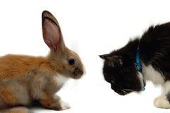 Rabit contre le chat Images stock
