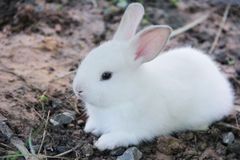 Rabit Royalty Free Stock Photography