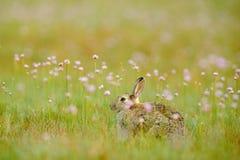 Rabit in fiori della molla di rumore metallico Coniglio sveglio con il dente di leone del fiore che si siede nell'erba Animale ne fotografie stock libere da diritti