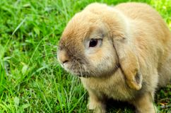 Rabit in grass Royalty Free Stock Images