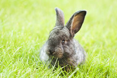 Rabit kanin i gräset Royaltyfria Foton