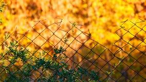 Rabitz 在黄色秋天叶子背景的老篱芭  股票视频