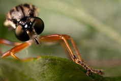 Rabuś komarnica Zdjęcia Royalty Free