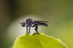 Rabuś komarnica lub zabójca komarnica odpoczywa na liściu (asilidae) Obraz Royalty Free