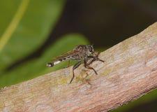 Rabuś komarnica w akci Obraz Royalty Free