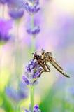 Rabuś komarnica z ofiarą Obrazy Royalty Free