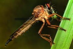Rabuś komarnicy łasowanie Obraz Stock