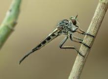 Rabuś komarnicy zabójcy komarnicy szczegółu strony AKA Makro- strzał obraz royalty free