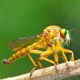 Rabuś komarnica Fotografia Stock