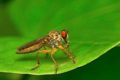 Rabuś komarnica, Aarey Dojna kolonia, INDIA Obrazy Stock