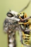 Rabuś komarnica i ofiara Fotografia Royalty Free