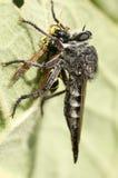 Rabuś komarnica i ofiara Zdjęcia Stock