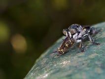 Rabuś komarnica je insekta, Asilidae Zdjęcie Stock