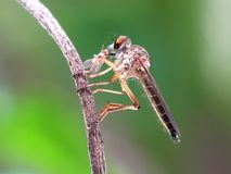 Rabuś komarnica mini fotografia royalty free