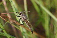Rabuś komarnica patrzeje dla zdobycza Fotografia Royalty Free