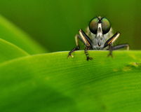 Rabuś komarnica w zieleni 1 Obrazy Royalty Free