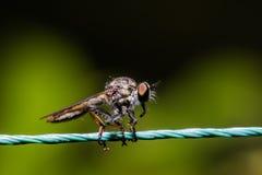 Rabuś komarnica, zabójca komarnicy Asilidae Obrazy Stock
