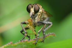Rabu? komarnicy ?niadanie obraz royalty free