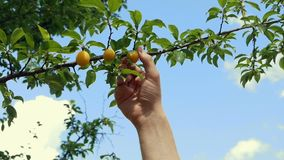 Raccoglie la ciliegia susina dal ramo stock footage