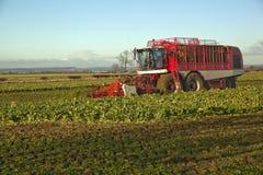 Raccogliendo barbabietola da zucchero, in Lincolnshire, il Regno Unito Immagine Stock