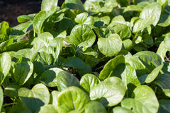 Raccogliendo gli spinaci giapponesi della senape ha chiamato Komatsuna Fotografia Stock Libera da Diritti