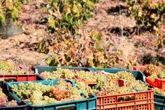 Raccogliendo l'uva bianca si avvicina a Laujar in Andalusia Immagine Stock