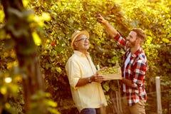 Raccogliendo l'uva in vigna - padre e figlio felici Fotografia Stock Libera da Diritti