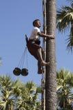 Raccogliendo la frutta della palma - Myanmar Fotografie Stock