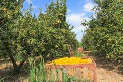 Raccogliendo nel giardino del limone Immagini Stock
