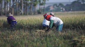 Raccogliendo risaia di mattina video d archivio