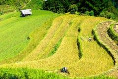 Raccogliendo sulle risaie Fotografia Stock Libera da Diritti