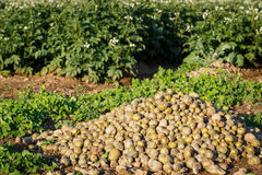 Raccogliendo in un giacimento della patata Fotografie Stock Libere da Diritti