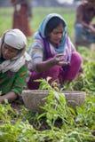 Raccogliendosi le patate stanno mostrando un lavoratore in Thakurgong, Bangladesh Fotografie Stock Libere da Diritti