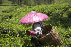 Raccoglitrice del tè Fotografia Stock Libera da Diritti