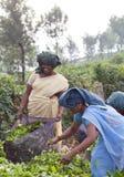 Raccoglitrice del tè che funziona nella piantagione di tè in Munnar, Kerala, sud dentro Fotografia Stock