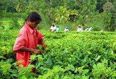 Raccoglitrice del tè del Tamil Immagine Stock