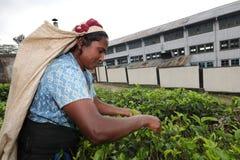 Raccoglitrice del tè nello Sri Lanka Fotografia Stock Libera da Diritti