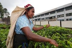 Raccoglitrice del tè nello Sri Lanka Immagini Stock