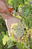 Raccoglitrice dell'uva Fotografia Stock