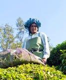 Raccoglitrice femminile del tè nella piantagione di tè in Munnar, India Fotografia Stock