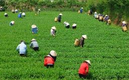 Raccoglitrice vietnamita del tè dell'agricoltore della folla sulla piantagione Fotografia Stock Libera da Diritti