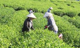 Raccoglitrice vietnamita del tè dell'agricoltore della folla sulla piantagione Fotografie Stock