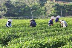 Raccoglitrice vietnamita del tè dell'agricoltore della folla sulla piantagione Immagini Stock Libere da Diritti