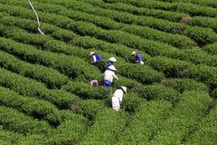 Raccoglitrice vietnamita del tè dell'agricoltore della folla sulla piantagione Fotografie Stock Libere da Diritti
