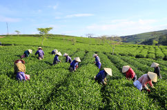 Raccoglitrice vietnamita del tè dell'agricoltore della folla sulla piantagione Fotografia Stock