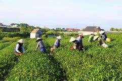 Raccoglitrice vietnamita del tè dell'agricoltore della folla sulla piantagione Immagini Stock