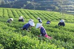 Raccoglitrice vietnamita del tè dell'agricoltore della folla sulla piantagione Immagine Stock