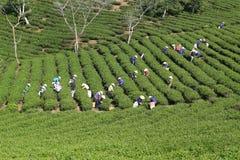 Raccoglitrice vietnamita del tè dell'agricoltore della folla sulla piantagione Immagine Stock Libera da Diritti